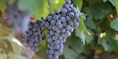 Raisin d'un domaine viticole (crédits photos: networld-fabrice Chort)